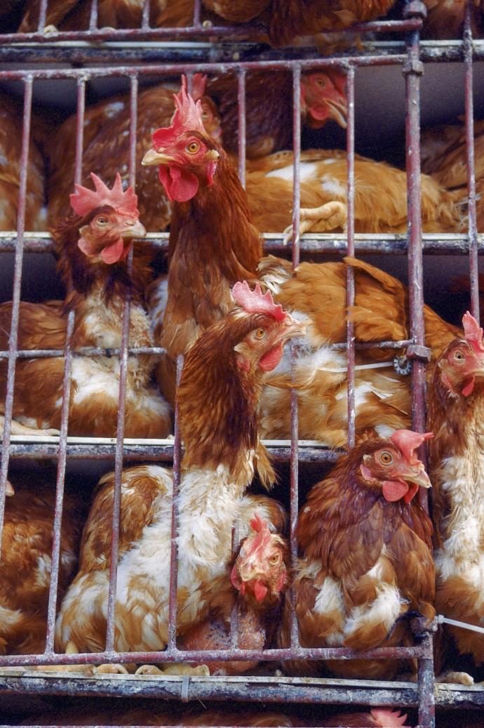좁은 케이지에서 집단 사육되는 닭. 닭진드기는 물론 가축 전염병을 막기 위해서는 다양한 노력이 필요합니다. 그러나 가장 근본적인 해결책은 가축을 보다 건강한 환경에서 사육하고, 가축 스스로 감염병에 대한 저항력을 가지게 하는 것이 아닐까요. - GIB 제공